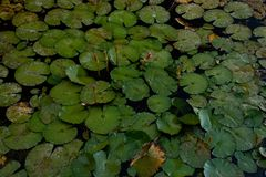 Blätter und Blüten von Seerosen in einem Teich lizenzfreie stockfotografie