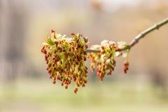 Blätter und Blumen Acers Negundo Lizenzfreies Stockbild