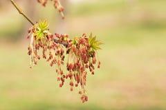 Blätter und Blumen Acers Negundo Lizenzfreie Stockfotos
