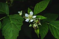 Blätter und Blumen der Brombeere stockfoto