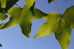 Blätter und droples lizenzfreies stockbild