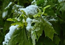 Blätter und Früchte des Ahorns unter dem Schnee Lizenzfreie Stockbilder