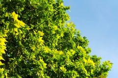 Blätter und Himmel Stockfotografie