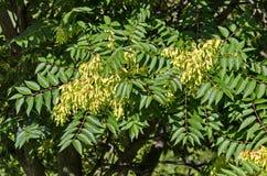 Blätter und Samen am Baum des Himmels oder des Ailanthus altissima Lizenzfreie Stockbilder