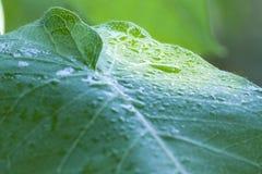 Blätter und Tautropfen, Morgentau lizenzfreies stockbild