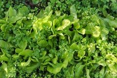 Blätter und Unkräuter des grünen Salats, die im Garten wachsen Lizenzfreies Stockbild