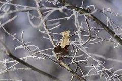 Blätter verlassen in den schneebedeckten Niederlassungen Stockbild