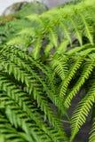 Blätter vom fougere von die Dicksoniaantarktis-Anlage für Hintergrundbeschaffenheit Stockfotos