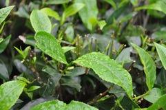 Blätter vom Tee Grden Südindien lizenzfreie stockbilder