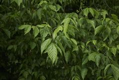 Blätter von Acer-negundo Baum Stockfotografie