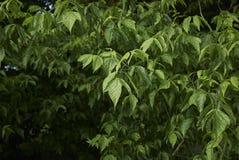 Blätter von Acer-negundo Baum Stockbilder