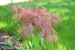 Blätter von Acer-palmatum (glatter japanischer Ahorn) Lizenzfreie Stockfotografie
