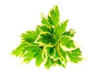 Blätter von Aegopodium-podagraria Variegata Lizenzfreie Stockfotos