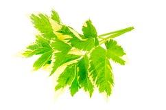 Blätter von Aegopodium-podagraria Variegata Lizenzfreies Stockfoto