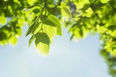 Blätter von Bäumen für Hintergrund Stockfotografie
