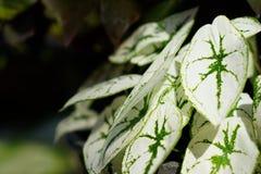 Blätter von Caladium Humboldtii Schott im Garten Lizenzfreie Stockfotos