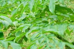 Blätter von Forest Konjac Stockbild