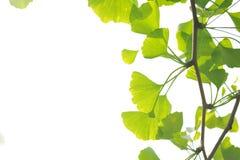 Blätter von Ginkgo biloba Stockfotos