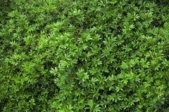 Blätter von grünen Strauchanlagen Stockbild