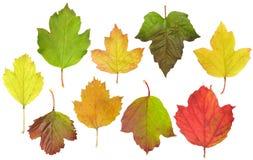 Blätter von guelder-stiegen Stockfoto