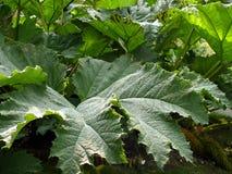 Blätter von hogweed stockfotos