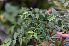 Blätter von Hoya-lanceolata im Tonnentopf lizenzfreie stockfotografie