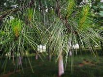 Blätter von immergrünen Bäumen nach dem Regen mit Wassertropfen auf Nadel formten Blätter stockfotos