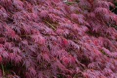 Blätter von japanischer Ahorn Acer palmatum Lizenzfreies Stockfoto