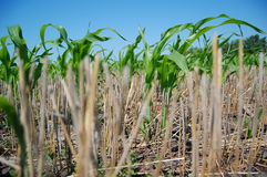 Blätter von Mais und von Stroh Lizenzfreie Stockfotos