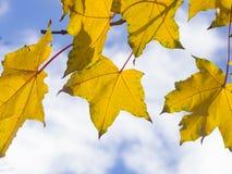 Blätter von Norwegen-Ahorn, Acer-platanoides, im Herbst gegen Sonnenlicht mit bokeh Hintergrund, selektiver Fokus, flacher DOF Stockbilder