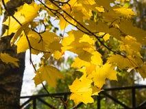 Blätter von Norwegen-Ahorn, Acer-platanoides, im Herbst gegen Sonnenlicht mit bokeh Hintergrund, selektiver Fokus, flacher DOF Lizenzfreie Stockfotos