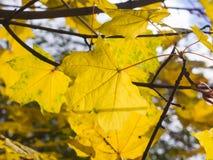Blätter von Norwegen-Ahorn, Acer-platanoides, im Herbst gegen Sonnenlicht mit bokeh Hintergrund, selektiver Fokus, flacher DOF Stockfotografie