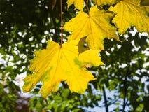 Blätter von Norwegen-Ahorn, Acer-platanoides, im Herbst gegen Sonnenlicht mit bokeh Hintergrund, selektiver Fokus, flacher DOF Lizenzfreie Stockfotografie