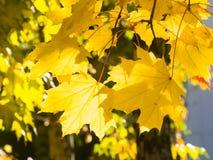 Blätter von Norwegen-Ahorn, Acer-platanoides, im Herbst gegen Sonnenlicht mit bokeh Hintergrund, selektiver Fokus, flacher DOF Stockfoto