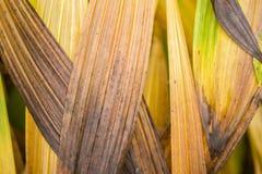 Blätter von Orchidee Bletilla im Herbst Lizenzfreie Stockfotografie