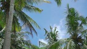 Blätter von Palmen auf dem Hintergrund mit blauem Himmel stock footage