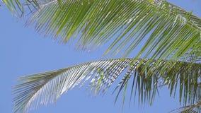 Blätter von Palmen gegen den blauen Himmel Langsame Bewegung stock video footage