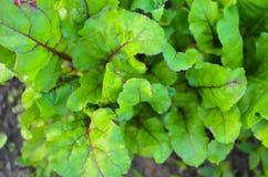 Blätter von Rote-Bete-Wurzeln Anlagen im Garten stockbilder