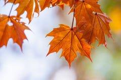 Blätter von Schwedler-` s Ahorn Stockbild