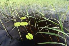Blätter von Seerosen und von Schilfen auf dem Wasser Lizenzfreie Stockbilder