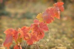 Blätter von Weinbergen Lizenzfreie Stockfotografie