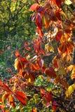 Blätter von wilden Trauben an einem sonnigen Herbsttag lizenzfreies stockbild