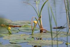 Blätter wässern Lily Swim Pond Water Lilies stockfoto