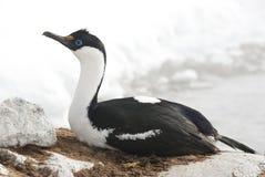 Blåögd cormorant för kvinnlig Antarctic på en bygga bo. Royaltyfria Bilder
