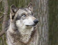 Blåögda Wolf Head och skuldror Arkivbild