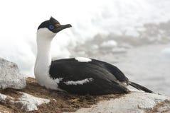Blåögt cormorantsammanträde för Antarctic på en vagga. Royaltyfri Bild