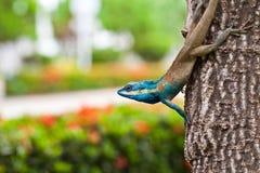 Blå ödla på treen Arkivfoto