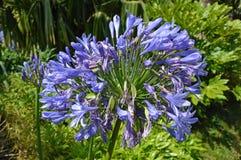 Blå afrikansk lilja Royaltyfri Foto