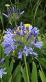Blå Agapanthus på Eden Project Cornwall Arkivbild