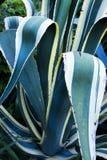 Blå Agave arkivbilder